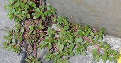 Если вы заметите это растение у себя во дворе, не спешите избавляться от него