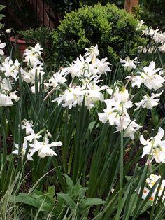 Beautiful old fashioned daffodil Thalia Little Acorns, Thalia, Daffodils, Planting, Garden Design, Flowers, Beautiful, Ideas, Plants