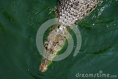 Photo about Crocodile in the crocodile farm in Bangkok. Image of wildlife, crocodile, pool - 30899040 Bangkok, Wildlife, Stock Photos, Nature, Naturaleza, Nature Illustration, Off Grid, Natural