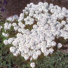 Candytuft (Iberis sempervirens) - suggested as good rose companion plant
