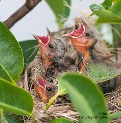 Three Hungry Mouths--Baby red wing black birds