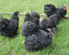 Cochin krielen zwart