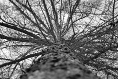 Free Image on Pixabay - Tree, Grey, Looking Up, High, Tall