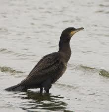 cormorant  - Carr Vale 2.1.13