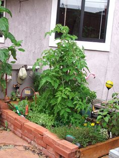 heirloom tomatoes in raised planter bed