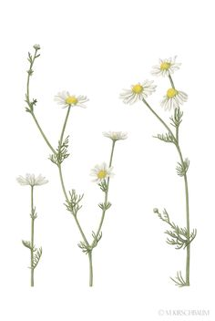 Botanical Illustrations done for Fab Design.