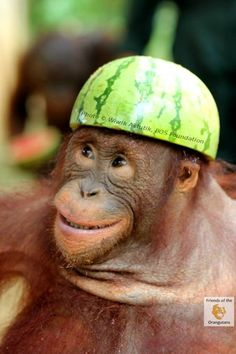 Silly Baby Orangutan think's he's an Army Cadet now