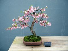 Cherry Tree Bonsai. I love Bonsai trees. Please check out my website thanks. www.photopix.co.nz