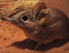 Elephant shrew - how cute is this little guy?