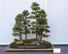 1024px-Black_Hills_Spruce_bonsai_forest_planting,_July_13,_2008