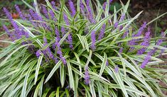 Image result for variegated liriope