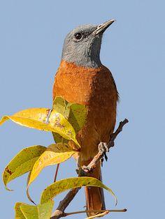 Cape Rock-Thrush by jvverde, via Flickr