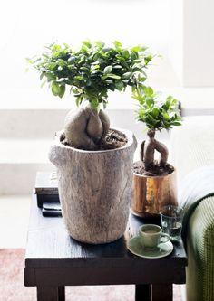 Juli 2015: Ficus Ginseng ist die Zimmerpflanze des Monats | Blumenbüro