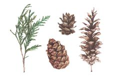 Cones and thuja Watercolor