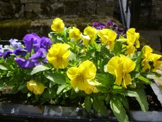 Our pansies have such dear little faces! Ryehill Farm, Northumberland