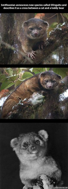 A new species has been found: The Olinguito…So freakin' adorable!!!