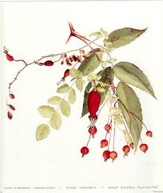 MW product ingredients include lovely rosehips —