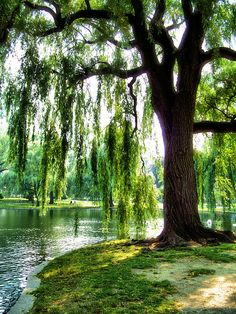 I love weeping willows.