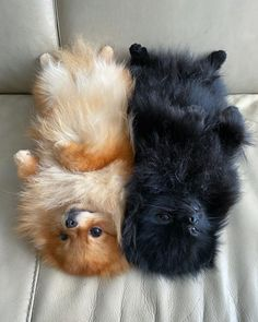 Meet Miqa and Jago. They are Belly Rub royalty. Will knight you in exchange for some good belly lovin' ♥️ Us first guys! Cute Little Animals, Cute Funny Animals, Cute Pomeranian, Teacup Puppies, Corgi Puppies, Puppy Images, Handmade Dog Collars, Cute Dogs And Puppies, Doggies