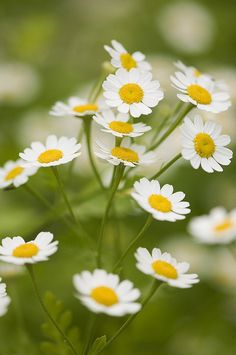 Wistfully Country, Feverfew by Mirrored-Images…Out of Action on...