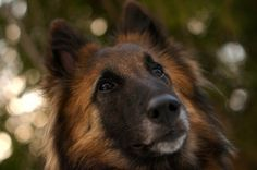 Learn everything you need to know about guard dogs, watch dogs, and attack dogs. Getting a dog is one of the best ways to help protect your home from burglary. Best Guard Dog Breeds, Best Guard Dogs, Belgian Shepherd, German Shepherd Dogs, German Shepherds, Belgian Tervuren, German Shepherd Pictures, Old English Sheepdog, Dog Activities