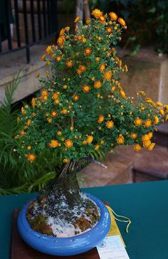 JPB:Bonsai Collection 10 |Bonsai chrysanthemum (1) | Flickr - Photo Sharing!
