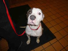 \r\nMy name is Queenie. I am described as a female, white and brown Bully breed.\r\n\r\nThe shelter staff think I am about 2 years.\r\n\r\nI have been at the shelter since Dec 18, 2017.\r\n