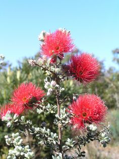 Kunzea pulchella (Granite Kunzea) is a shrub in the family Myrtaceae. It is endemic to the south-west of Western Australia, where it occurs on granite outcrops and slopes. The flowers are produced between June and November in its native range