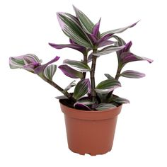 4″ Tradescantia Nanouk | Vermeer Greater Toronto Area, Tropical Plants, Bubble Gum, Indoor Plants, Lilac, Make It Yourself, Mom, Plant, Google Search