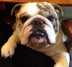 Bogi our sweet English Bulldog ❤️