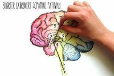 Extrovert dopamine pathway - short