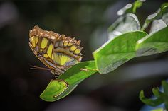 The Clipper (Parthenos sylvia) is a species of nymphalid butterfly found in South and South-East Asia, mostly in forested areas.