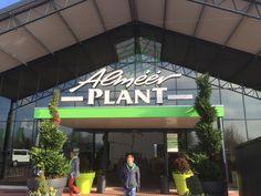 Alsmeerplant