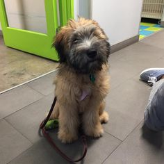 Meet our new #wheatenterrier friend, Jemima! Welcome to the pack. (P.s. We are loving that puppy fur... #goodhairday )
