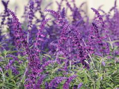 Mexican bush sage    Distinguished by its velvety purple and white spires in late summer and fall, this drought-tolerant shrubby perennial is loved by butterflies and hummingbirds. Mexican bush sage needs well-drained soil. USDA Hardiness Zones: 9 to 10 as a shrub; to Zone 7b as a perennial