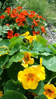 Nasturtium in the Peace Garden.