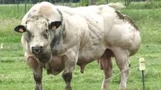 He's a Belgian Blue bull, a breed of cattle raised for beef, and, unfortunately, he's a symbol of just how far people will go to make a buck. For the love of animals. Farm Animals, Animals And Pets, Super Cow, Belgian Blue Cattle, Cow Pictures, Bull Cow, Beef Cattle, Bullen, Hereford