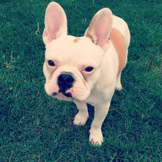 Mr. Frankie the French Bulldog He has eyes just like my Bunny! = )