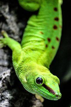 Eidechse Geko Echse Reptil Lizard neon Grün Green Kleines Tier Small Animal Animal Tier