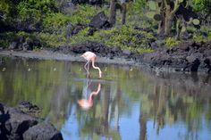 Flamingo  galápago Island. Ecuador.