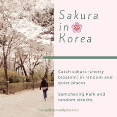 [Wep's Korea Life] Where to See Cherry Blossoms: Random Streets & Samcheong Park | wep's gallery