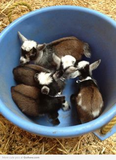 @Hayley Sheldon Sheldon Sheldon Kelderman  we need this a bucket of goats! #cuteanimals