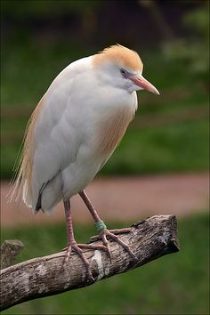 The Cattle Egret has many common names. These mostly relate to its habit of following cattle and other large animals, and it is known variously as cow crane, cow bird or cow heron, or even elephant bird and rhinoceros egret. Its global population estimated to be 3.8–6.7 million individuals.  This picture was taken in Safaripark Beekse Bergen, zoo and safaripark in Hilvarenbeek, the Netherlands.