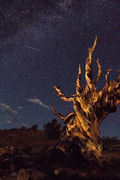This particular tree is estimated to have lived over 4000 years. The intense weather high altitude climate and nutrient poor soil allow the Ancient Bristlecone Pines to thrive in this environment where hardly anything else can survive[3456x5184]