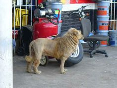 garage owner who clipped his dog to look like a lion to keep the pikies away