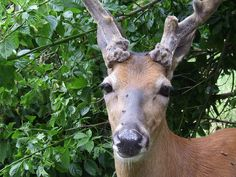 White Tailed Deer at the preserve by eJourna, via Flickr