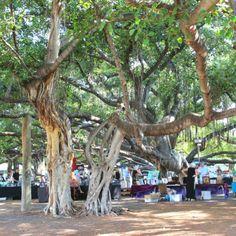 Hawaii Travel Tips   Lahana Banyan Tree