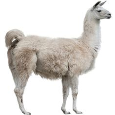 Exotic Meat Market raises Llamas at their farm in California since 2012 for their fur and meat. Llama meat is fairly lean like all game meats. The flavor of Llama meat lies somewhere between that of beef and lamb.