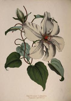'The Woolly Clematis' from 'Paxton's Flower Garden' by Professor Lindley and Joseph Paxton. Published 1884 by Cassell, Petter, Galpin & co. . archive.org