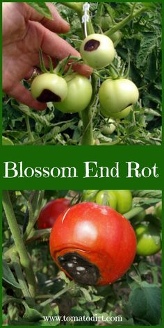 Blossom end rot how to identify, treat, and prevent it is part of Tomatoes plants problems - Blossom end rot is a common tomato problem caused by a calcium imbalance Find out how to identify, treat, and prevent it Tips For Growing Tomatoes, Growing Tomato Plants, Growing Tomatoes In Containers, Growing Veggies, Growing Zucchini, How To Grow Tomatoes, Growing Onions, Organic Gardening, Growing Vegetables